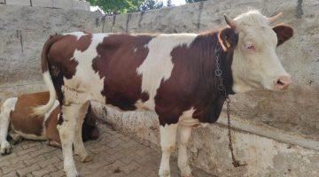 Bakan Bekir Pakdemirli: Üreticimizin satamadığı kurbanlıkları Et ve Süt Kurumu alacak