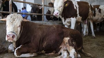 Kurban eti kimlere dağıtılır kimlere kurban eti verilmez?